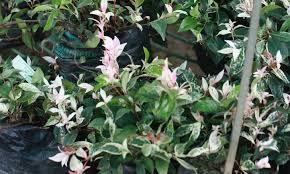 Star Jasmine A Fragrant And Vigorous Climber Epic Gardening
