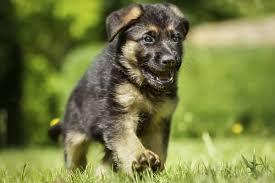 do german shepherd puppies change color