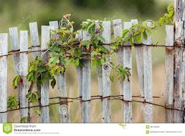 Green Leafy Vine Plant On Wood Fence Stock Photo Image Of Vertical Grass 96105256