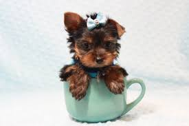 teacup toy yorkie puppies in
