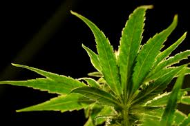 W.Va. Officials Say It Will Take Years for Medical Cannabis Sales ...