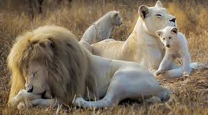 white baby cubs born from white lion
