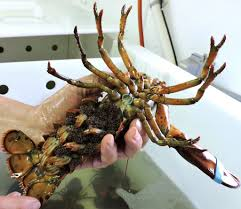 Live, very pregnant female lobster ...