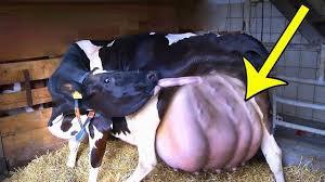 ظنوا ان هذه البقرة ستلد عجلا ولكن كانت المفاجأة مذهلة في