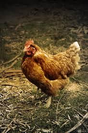 10 صور دجاج نادرة