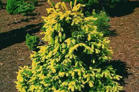 dwarf conifers small space gardening
