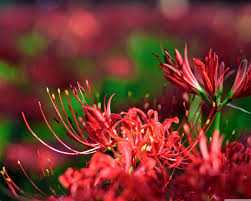 red spider lily an ultra hd desktop