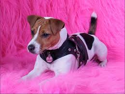 jack russell wallpapers fun s