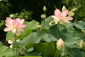 lotus flowers history meaning properties growth care