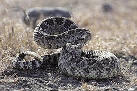 Be Rattlesnake Safe This Spring News Ledger News