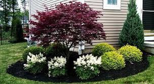 evergreen shrub for corner of house