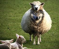 exposing ravening wolves in sheep s