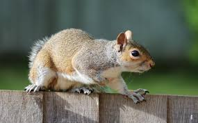 Squirrels How To Get Rid Of Squirrels In The Home Garden The Old Farmer S Almanac