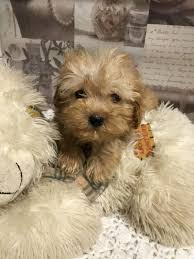 maltipoo puppy s in tulare county for