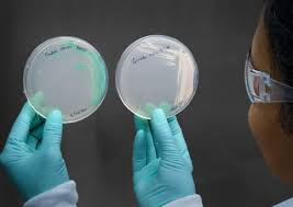 c auris a dangerous fungus if you re