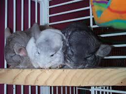 proper housing for pet chinchilla