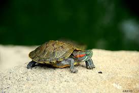 red eared slider turtles wallpapers