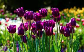 تحميل خلفيات البنفسج والزنبق ماكرو الربيع زهور البنفسج الزنبق