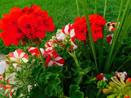 25 best summer flowers in india