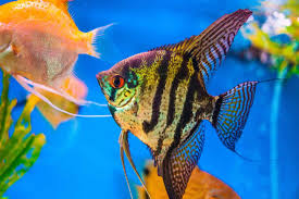 Freshwater Angelfish Care Guide: The Queen Of The Aquarium ...