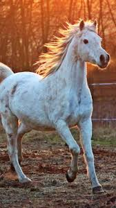 white arabian horse wallpaper iphone