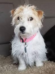 wiry hair best jack russell terrier