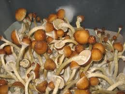 Buy golden_teachers mushrooms Poperinge, Buy lsd blotters online Philippeville, Buy DMT crystal near me Péruwelz, Buy Medical marijuana online  Peer