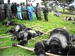 Goma : le directeur de l'ICCN arrêté pour massacre de gorilles et ...