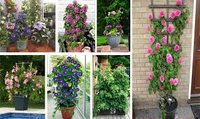 ideas about climbing plants in pots