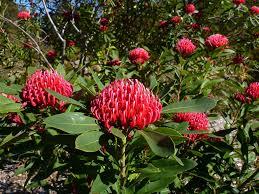 australian native shrubs gardening