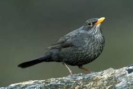 mon blackbird male date 13232278