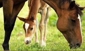 feeding the pregnant and lactating mare