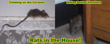 a rat in your house