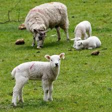 Owieczka i jagnie