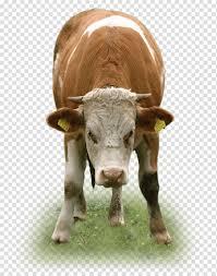 ماشية الألبان تكساس لونغهورن ميجليورانزا إس آر إلماشية لحم العجل