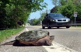 An Answer To Vehicle Caused Turtle Fatalities In Florida Debating Science