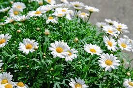 زهرة الأقحوان الخصائص وظروف الزراعة بالصور روزبيديا