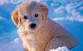 sweet puppy golden retriever puppy