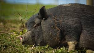 Electric Fencing For Pigs And Hogs Beginners Guide Kippax Farms