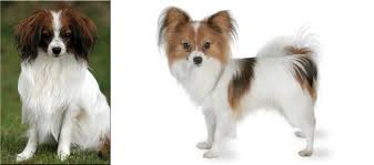 Phalene vs Papillon - Breed Comparison