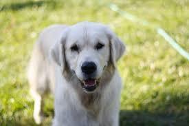 Our Dogs – Oregon Goldadors