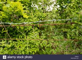 Barbed Wire Fence Flower High Resolution Stock Photography And Images Alamy
