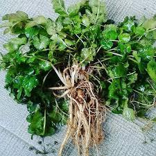 Resultado de imagen de planta natural Purwaceng