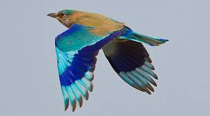 did you know spotting neelkanth bird is