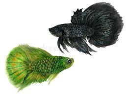 fish fighting stock ilrations 1