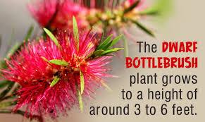 How To Grow And Take Good Care Of A Dwarf Bottlebrush Gardenerdy