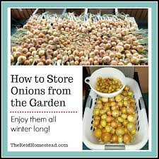 how to onions from the garden