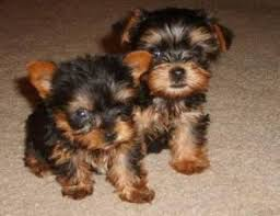 tiny teacup akc toy yorkie puppies for