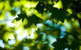 تحميل خلفيات أوراق الشجر خلفية الصيف الغابات الأشجار اليوم