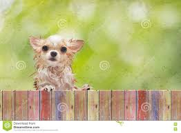 Chihuahua Dog Look Through Wooden Fence Behind Wet Glass Window Stock Photo Image Of Animal Grey 81378012